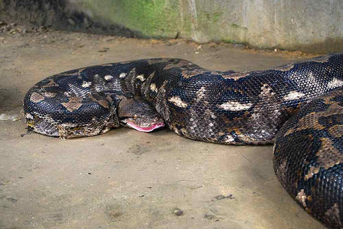 Prony Largest Python Captivity found in Bohol