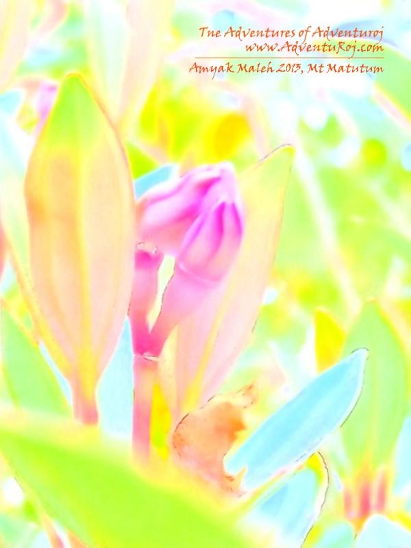 matutum flower